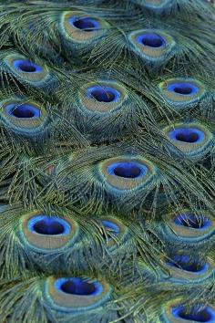 peacock-560252_1920